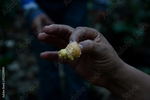 Fotografie, Obraz  A native mans hand holding a delicacy he has removed from a fallen tree