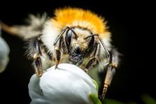 Bumblebee Macro Photo