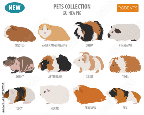 Fotografía  Guinea Pig breeds icon set flat style isolated on white