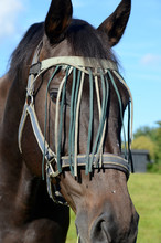 Horse With Eye Curtain. This Curtain Is Meant To Prevent Flies To Get Access To The Eyes.
