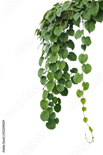 Heart shaped thick green leaf wild vines hanging climber vine bush heart shaped thick green leaf wild vines hanging climber vine bush isolated on white mightylinksfo