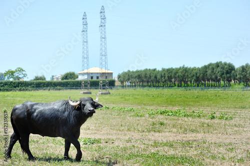 Staande foto Buffel Italian buffalo in a field