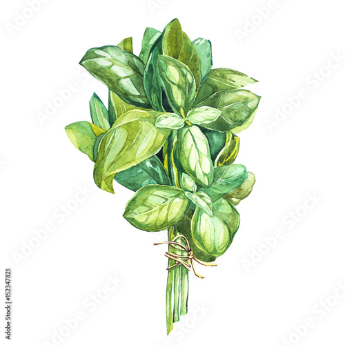 Foto Botanical drawing of a basil leaver