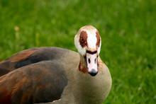 An Egiptyan Goose In The City