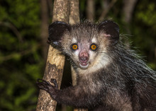 Aye-aye, Nocturnal Lemur Of Ma...