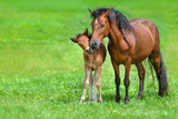 Fototapeta Konie - Mare with colt on spring green field