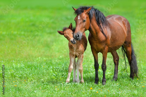 Fototapeta Mare with colt on spring green field obraz