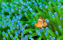 Clownfish, Amphiprion Ocellaris