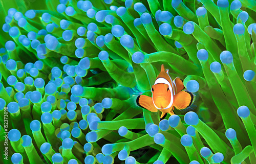 Fotografie, Tablou Clownfish, Amphiprion ocellaris
