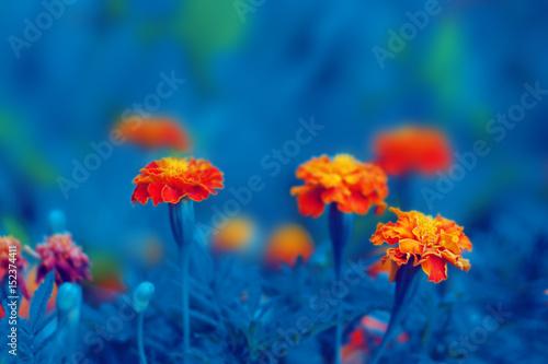 Poster de jardin Dahlia Tagetes orange flowers blossom. Floral background.