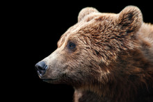 Brown Bear Portrait Isolated O...