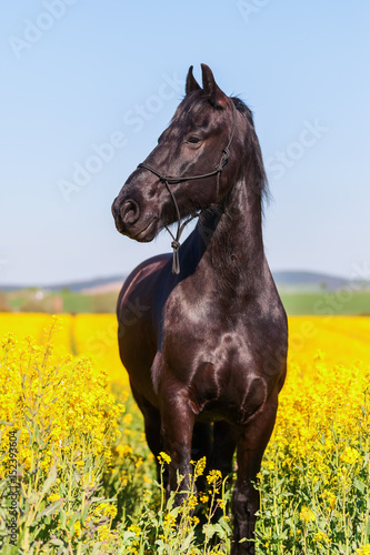 portrait of a Friesian horse