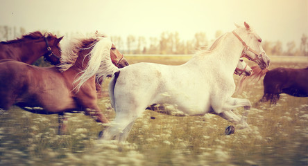Obraz The herd of horses running gallop.