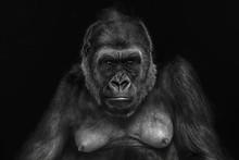 Close Up Of A Female Gorilla