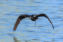 Double-crested Cormorant Gliding Over A Lake