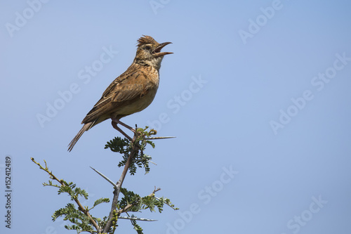 Vászonkép Rufous-naped lark sit on branch and call to claim his territory