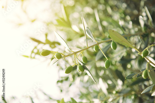 Olive tree in Italy, harvesting time, sunset. Olive trees garden, detail.