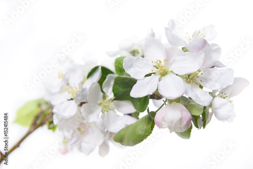 Apple blossoms blooming apple tree branch with large white flowers blooming apple tree branch with large white flowers flowering mightylinksfo