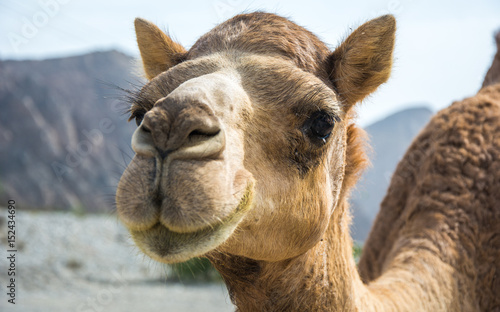 "Fotobehang Kameel Omani Camels - The camel, also called the ""Ship of the Desert"" is a vital part of the Omani Society, for it represents a deeply appreciated and highly valued tradition. Camels were not only the main m"