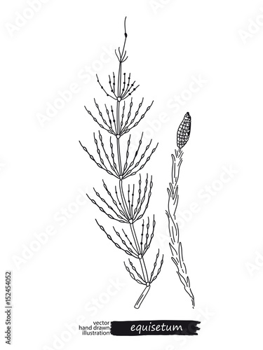 Photo  Equisetum isolated vector sketch
