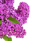 Beautiful fragrant purple lilac on a white background, with space for text