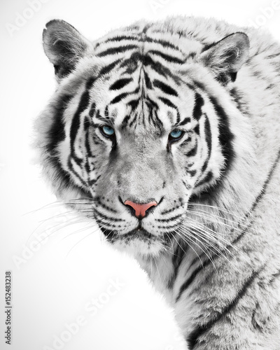 White tiger beauty