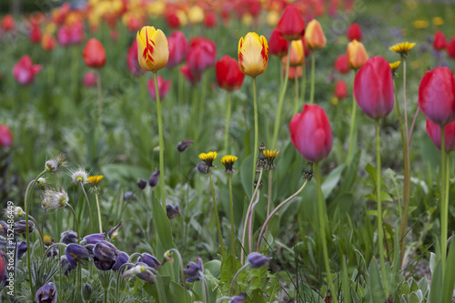 Wall Murals Tulip Spring tulipans background
