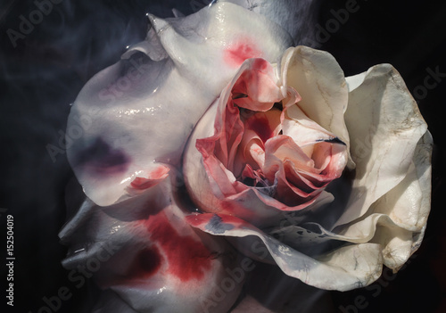 Photo  Bloodied wet flower of a withering white rose