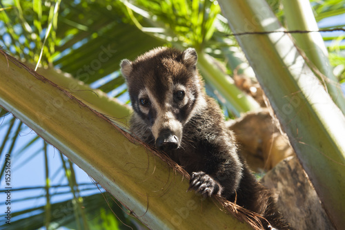 Tela Coati Sitting in a Palm Tree