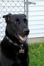 Black Shepherd Dog Posing For The Camera Outside During Spring