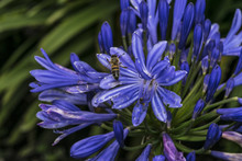 Purple Agapanthus And Bee