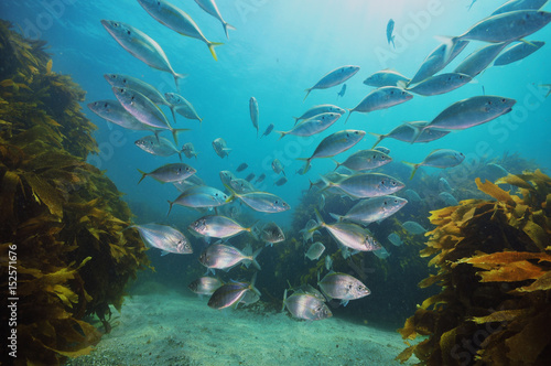 school-of-new-zealand-trevally-pseudocaranx-dentex-above-sandy-bottom-with-kelp-forest-of-ecklonia-radiata-around-and-in-background