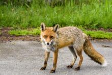Fuchs Mit Einem Beschädigtem Auge Am Strassenrand