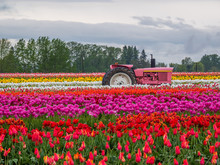 Multi-colored Field Of Tulips....