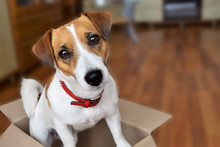 Cute Puppy Jack Russell Terrier Sitting In A Cardboard Box