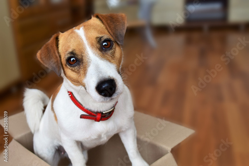 Valokuvatapetti Cute puppy jack russell terrier sitting in a cardboard box