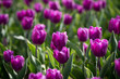 canvas print picture Beautiful purple tulips in nature