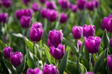 Beautiful Purple Tulips In Nat...