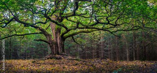 Fotografía  Scenic and big oak at autumn day in Finland