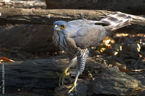 Foto op Plexiglas Krokodil Crested Goshawk Accipiter trivirgatus Birds of Thailand