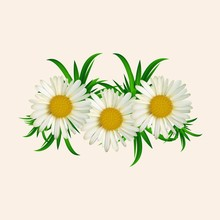 Vector Flowers, Chamomile. Vector Floral