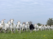 Group Of White Goats In Green Dutch Meadow With Yellow Flowers In The Netherlands
