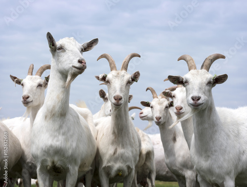 white goats outside in meadow against blue cloudy sky