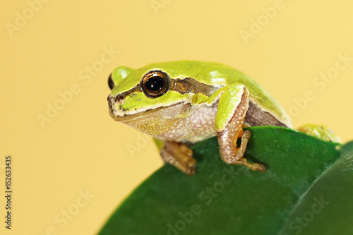 Tuinposter Kikker european tree frog on a leaf