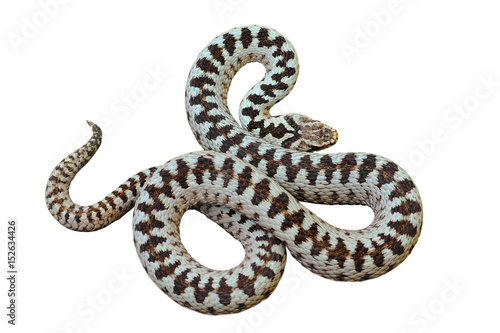 isolated beautiful european common crossed viper
