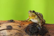 Male Tree Frog Singing