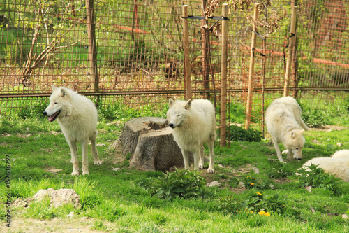 Fotografie, Obraz pack of white arctic wolves (Canis lupus arctos) in the enclosure in ZOO