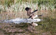 Canada Goose Landing On Water ...