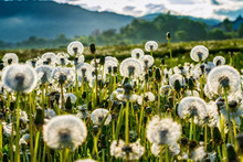 Bloated Dandelions On A Green ...