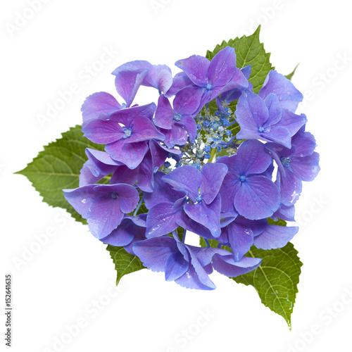 Deurstickers Hydrangea blue Hydrangea isolated